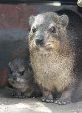 Dassie & Baby