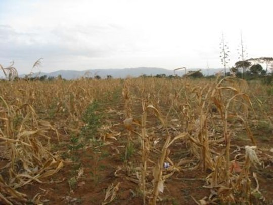 Maize scorched by heat