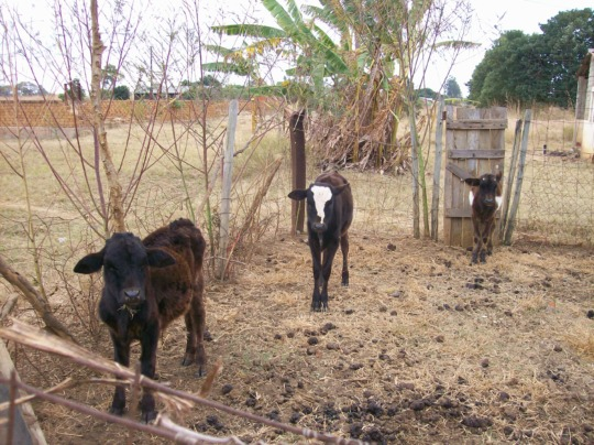 Some Cattle and a Banana Plant