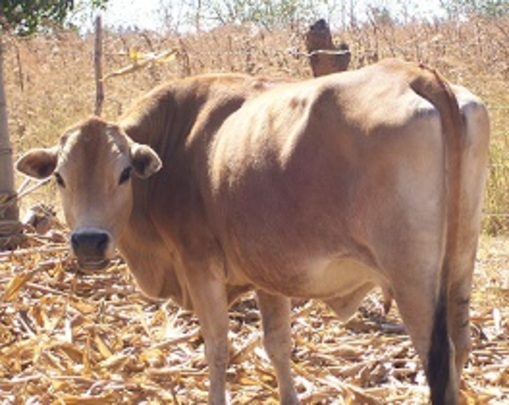 One of the Cows at Kaliyangile