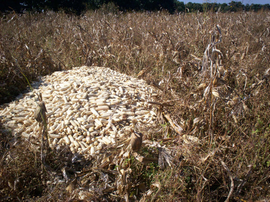 A large pile of harvested Maize