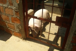A Pig in the Kaliyangile Sty