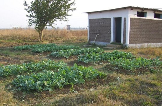Growing Rape at Kaliyangile