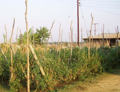 Tomatoes growing at the Vocational Training Centre