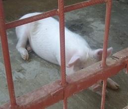 One shy Pig?