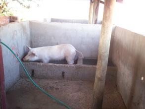 A sow at Kaliyangile