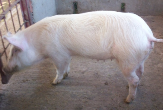 Sow for sale
