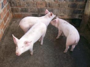 Kaliyangile Piglets