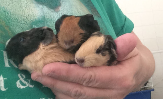 more baby guinea pigs