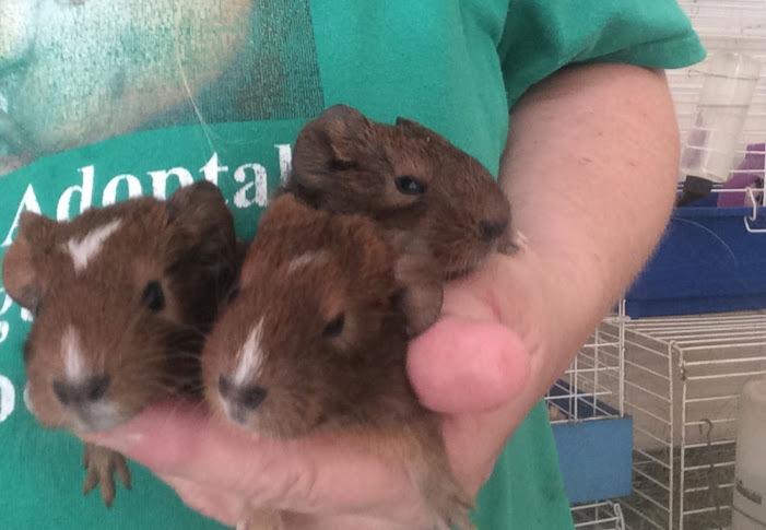 Baby Guinea piggies