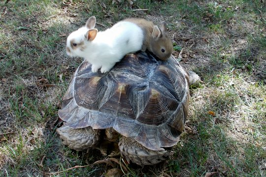 Baby bunnies on Rambo the tortoise