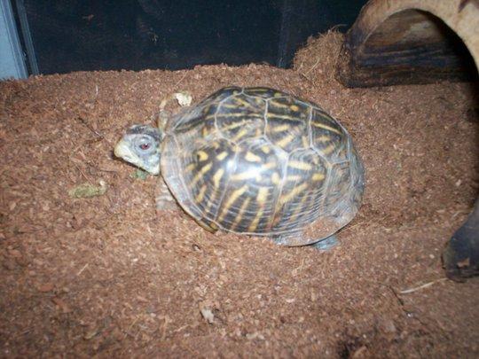 Alberta the western box turtle