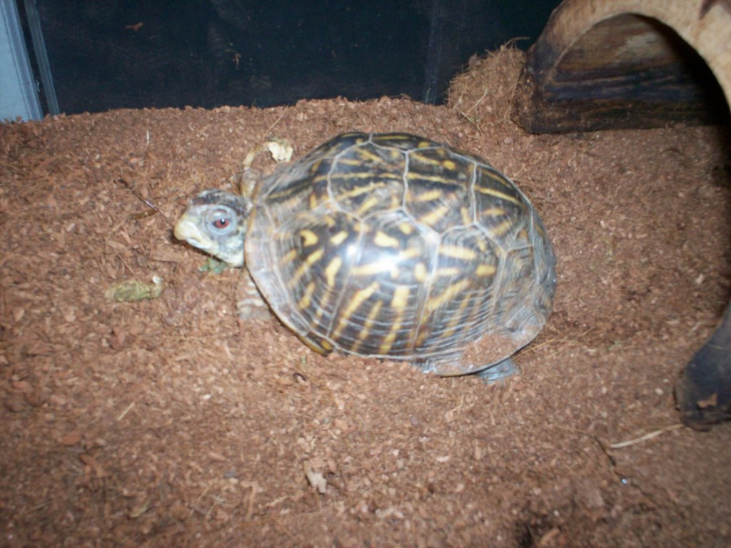 Alberta the western box turtle