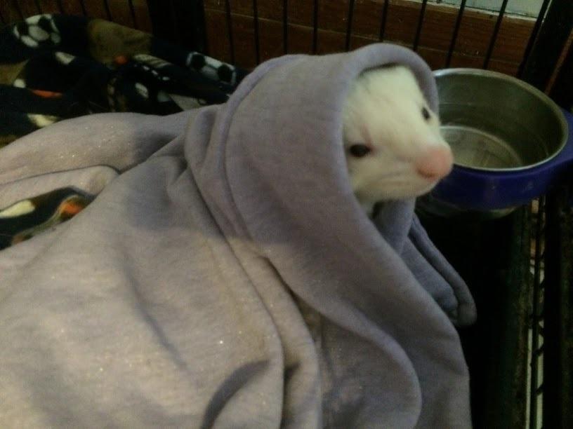 Pogo the ferret posing as Obi Wan Kenobe or ET