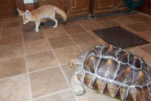 Wiley the fennec fox & Rambo the tortoise