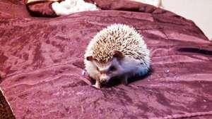 Jelli the hedgehog