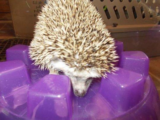 Lucky the hedgehog