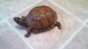 Michelle the box turtle