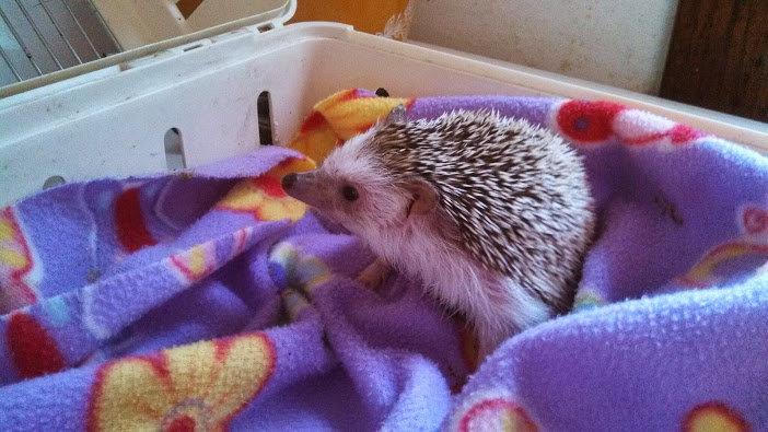 Boomer the hedgehog