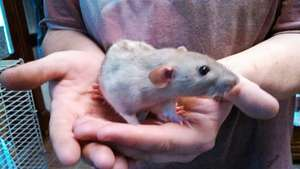 New young ratty Cupcake
