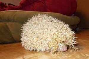 Jim the new hedgehog