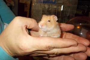 Penelope the baby hamster