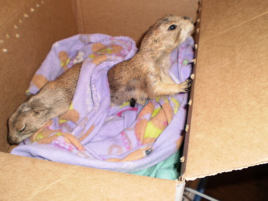 Rescued Prairie Dogs Munch & Fin