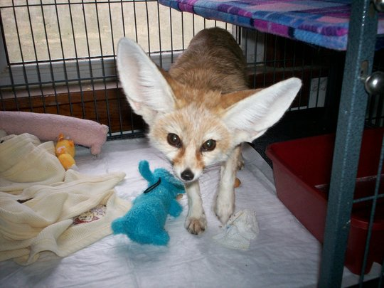 Wiley the fennec fox