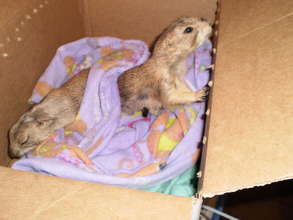Rescued Prairie Dogs Munch & Fin