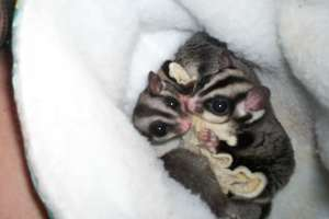 Fred & Ethel Sugar Gliders