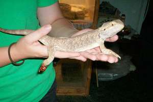 Zeddicus the Bearded Dragon