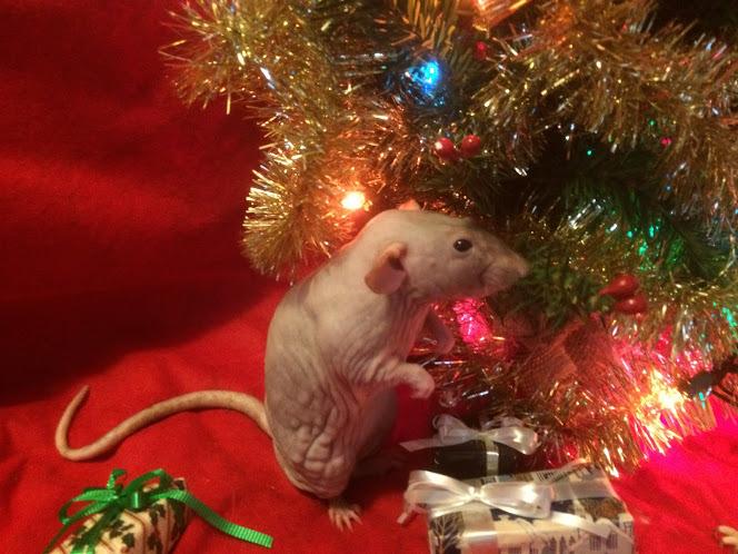 Gus the hairless rat