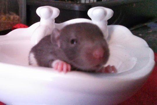 Baby Rattie