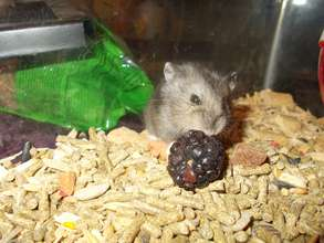 Tiny dwarf hamster and a big juicy berry