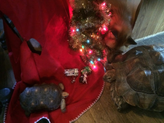 Leroy and Rambo the tortoises & Tod the red fox