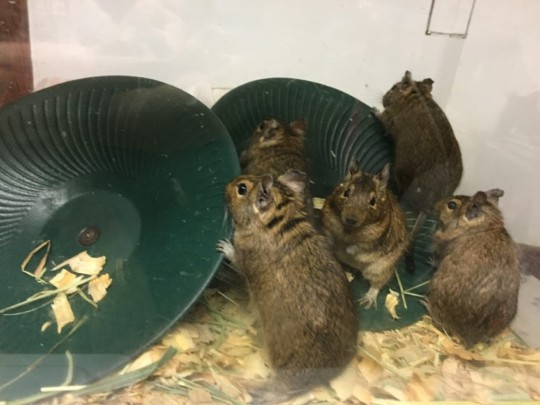 5 of the Degus