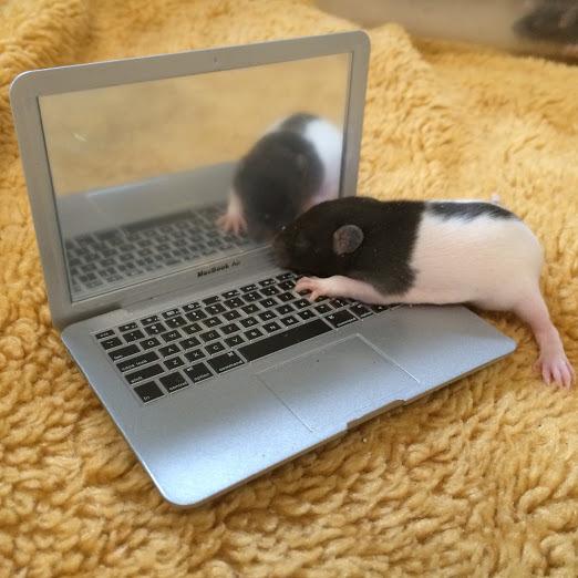 Baby Ratty