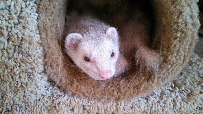 Buddy the ferret