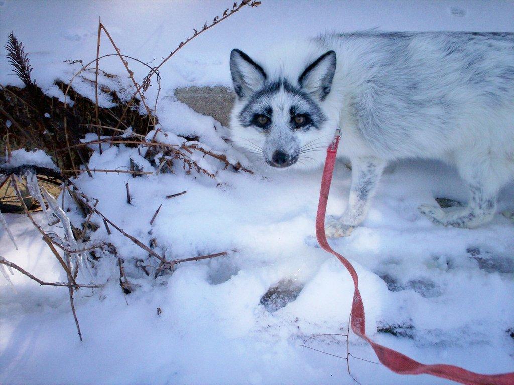 Shadow enjoying a walk in the snow