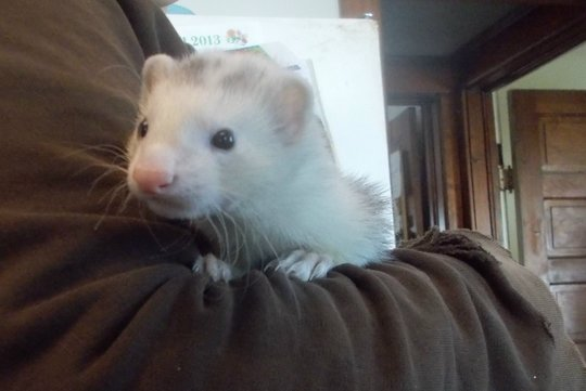 New Ferret Pogo