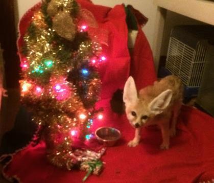 Wiley the fennec fox