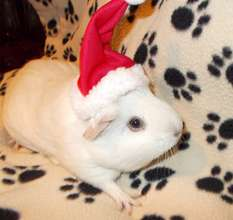 Dumpling the guinea pig says Happy Holidays!