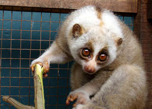 EWCL Fellows work to save the Slow Loris