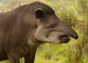 EWCL Fellows work to save the Tapir