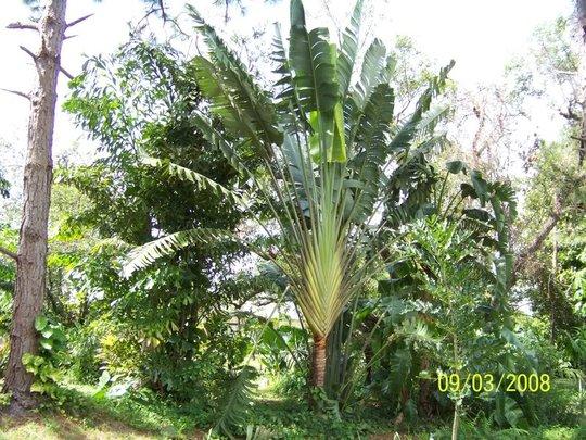 Iconic palm (http://www.palmtalk.org)