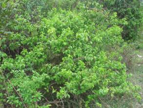 Ceranchia host plant growing wild