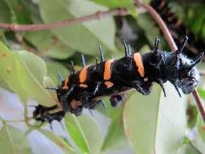 Beautiful Ceranchia appolina caterpillar