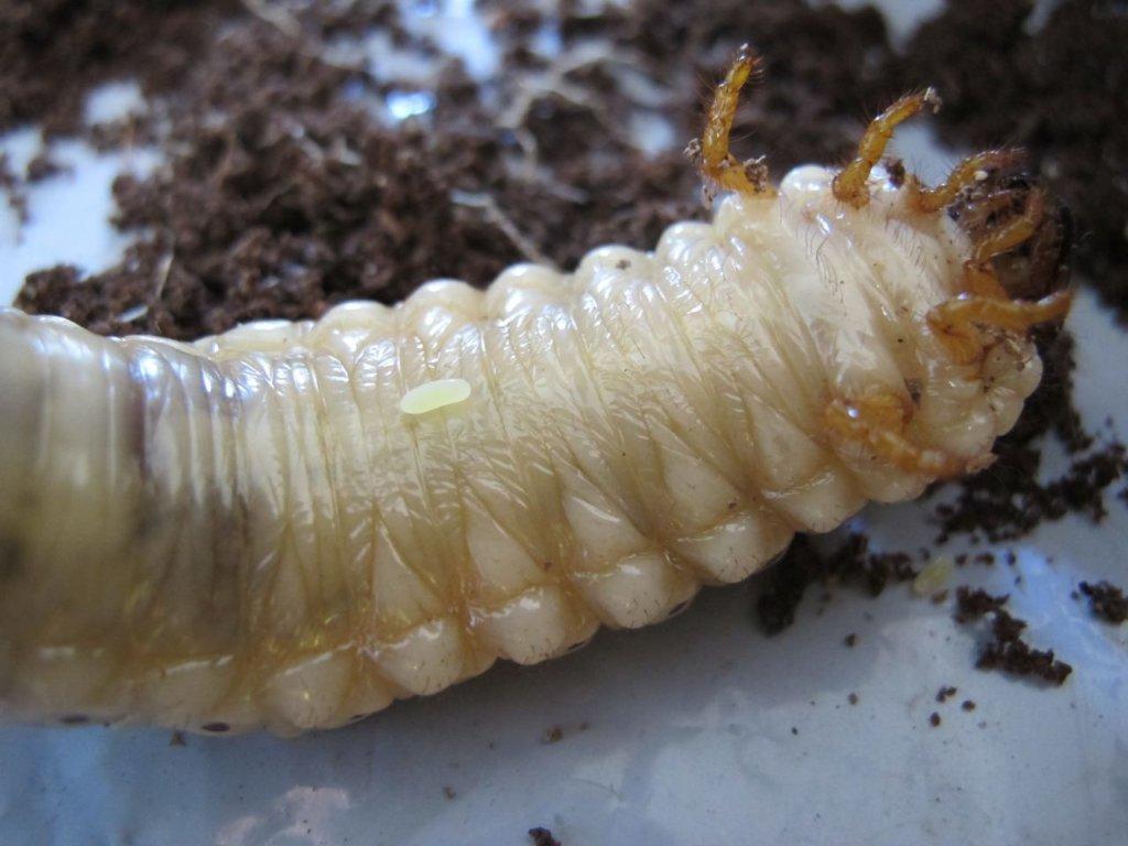 Orcytes Beetle Larva