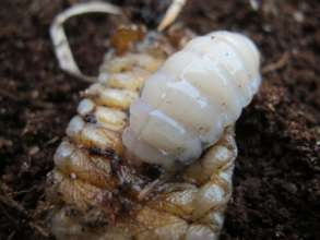 Wasp Larva Feeding on Beetle Larva