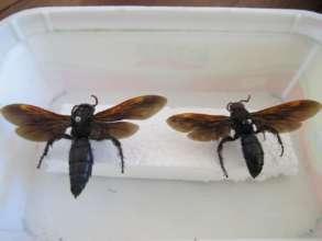 Predatory Wasps